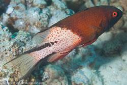 BD-121128-Aqaba-7519-Bodianus-anthioides-(Bennett.-1832)-[Lyretail-hogfish].jpg